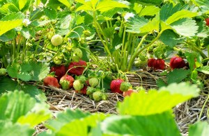 strawberry-field-2
